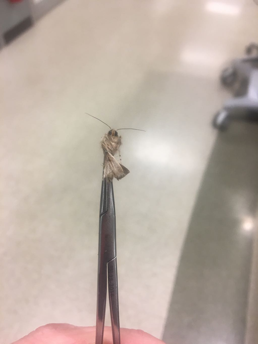 Moth removed from ear